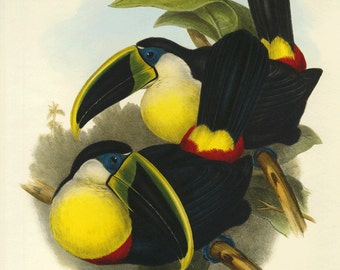 Sale  Bookplate Illustration of Toucans by Gould,  Large on Heavy Paper