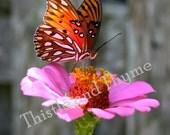 Gulf Fritillary Butterfly - 5x7 Photographic print single print