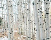 "Birchwood Trees, Aspen, Travel Photography, Nature Photo, Landscape, Affordable Home Decor, Fine Art Photography, ""Aspen II"""