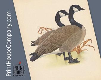 Bird, Vintage Canada Goose Print, by Athos Menaboni, Natural history bird art, Ornithology