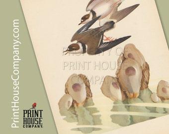 Bird, Vintage Plover Print, by Athos Menaboni, Natural history bird art, Ornithology