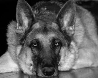 German Shepherd Photography Dog,black and white,Gifts under 25,pet,canine,stunning,dog lovers artwork,beautiful shepherd,police dog, sweet
