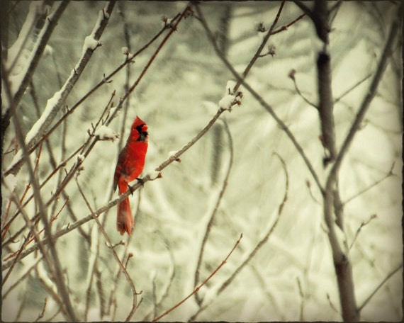 Items Similar To Fine Art Photography Cardinal Ruby Red