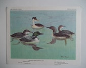 LOONS and GREBES in a Natural Habitat. Color Bird Print Plate. 1960s.