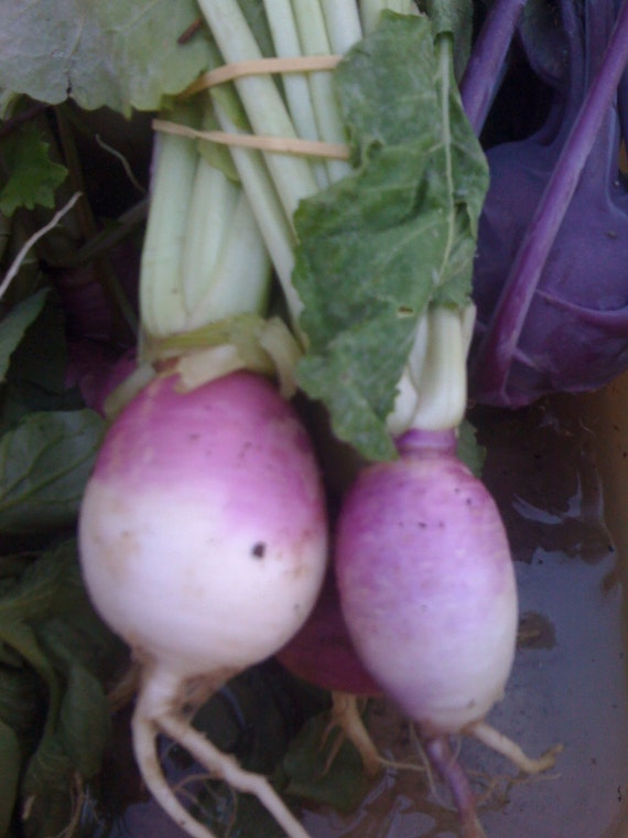 SALE Turnip Purple Top Rare Heirloom Variety Quick Growing Excellent Flavor Quality Seeds