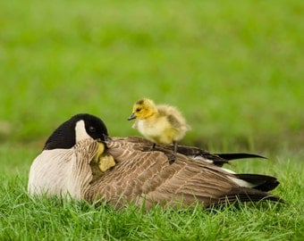 Canada Goose with Goslings Borderless Photograph, Baby Animals, Nursery Wall Art