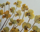 Viola Tricolor Flowers Pressed Dried pack of 27
