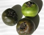 Black Sapote Chocolate Pudding Fruit  Tropical Fruit Tree (Diospyros digyna)