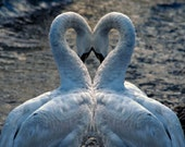 Love in Swan Lake - Signed photo 4 X 6 - white romantic fantasy mysterious valentine heart nature water waves