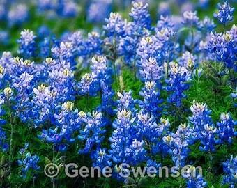 Texas Bluebonnet Flowers - Available Sizes  (5x7) (8x12) (12x18) (16x24) (20x30) (24x36)
