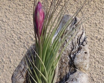 Tillandsia Seideliana Air Plants