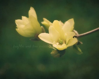 Yellow Magnolia Fine Art Photography Flower Floral Pale Yellow Spring Emerald Green Tree Blossom Garden Shabby Chic Home Decor Wall Art