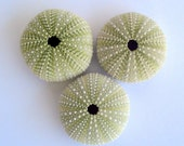 Green Sea Urchin Set of 3 and a FREE air plant