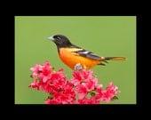 Baltimore oriole bird photograph- 8x10 matted