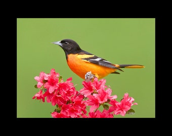 Baltimore oriole bird photograph- 5 x 7 matted