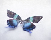 Butterfly Photograph 8x10, Black and Blue Photography 8x10, Butterfly Picture, Baby Girl Nursery Art