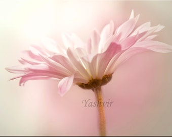 Pale Petals - Fine art photography of pink and white flower, home decor, abstract. Vintage inspired, dreamy, shabby chic, girls room decor.