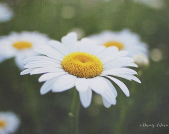 daisy, flowers, green, white, yellow, summer, fine art photography