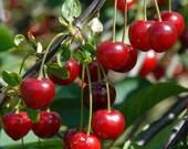 Heirloom 25 Seeds Cherry Tree Shrub Seeds cherry-tree Edible Fruit Seeds T007