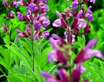 Heirloom 350 Seeds Kitchen Sage Common Perennial Sage Garden Sage Broadleaf Sage Salvia officinalis Blue and Red Flower Seed S099
