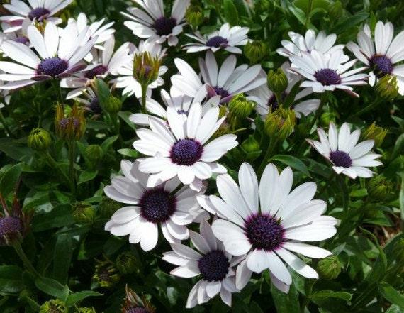 Heirloom 120 Seeds Osteospermum African Daisy Sky and Ice O Ecklonis White Purple Eye Flower Bulk B1105