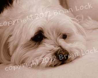 FREE SHIPPING - Maltese Dog Sepia Photograph - Long Day