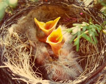 Farm Photograph - Get In My Belly - 5x7 Photograph Hungry Baby Birds in Nest