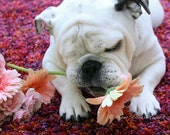 BULLDOG AND DAISIES, Dog Photography, Adorable English Bulldog Photo, Piper Stone, Dog Rescue, Playing with daisies, Daisy Photo