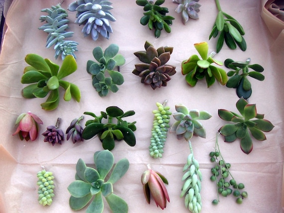 100 Individual unrooted SUCCULENT CUTTINGS, great variety & color.