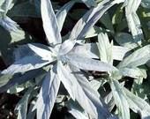 Smudging Sage Seeds -  Prairie Sage - Artemisia ludoviciana -- Medicinal Herb