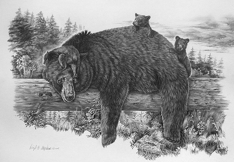 Bear Art Naptime Yet Pencil Drawing Of The Black Bear And