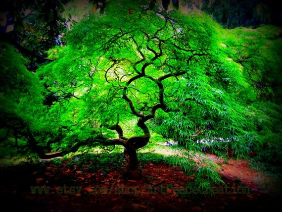 Glowing Tree - 8x10 - Japanese Maple - original nature photography
