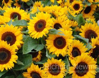 Sunflowers, Yellow flowers, wall art 11 x 14 photograph