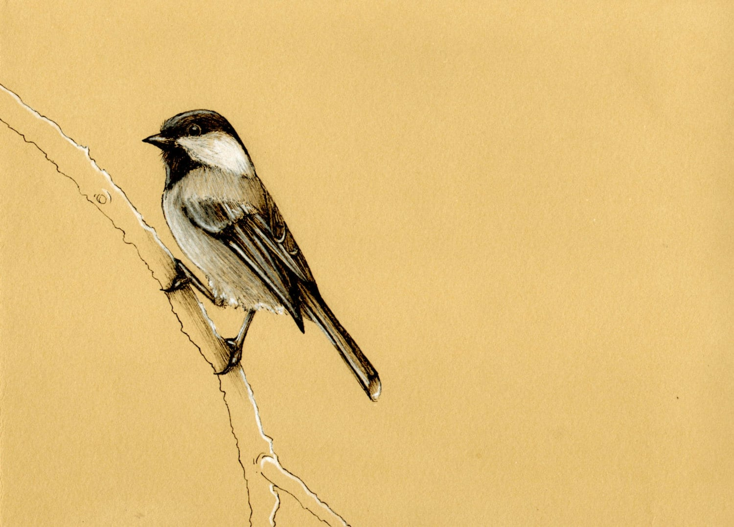Black Capped Chickadee Drawing Black capped chickadee songbird bird    Black Capped Chickadee Drawing