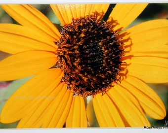 5 x 7 matted photograph, yellow sunflower, flower photo