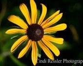 Black-eyed Susan, 5x7 Fine Art Photography, Flower Photography, Nature Photography - CindiRessler
