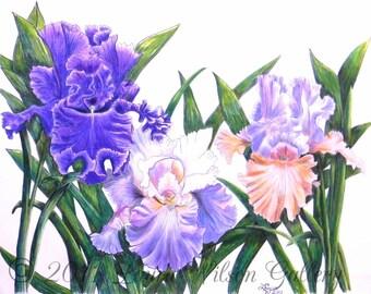 Three Irises Pen and Colored Pencil  Original Drawing