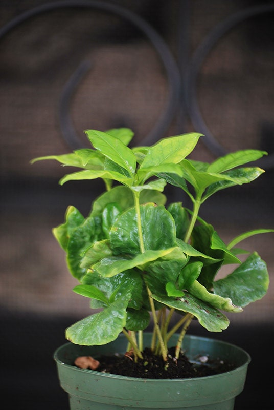 Live Arabica Coffee Plant - Indoor Bonsai - Free Shipping w/Fertilizer Gift