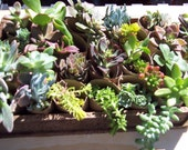 "36 -2"" Assorted Succulents and Sedums for Living Walls, Centerpieces, Weddings, Terrariums, Wreaths"