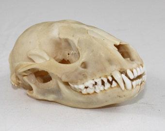 Raccoon Skull real bone, natural