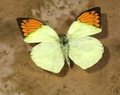"Huge Sale on ""The Great Orange"" Tip Real Butterfly Hair Clip"