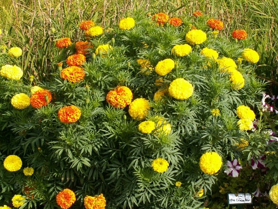 how to keep rabbits out of garden marigolds