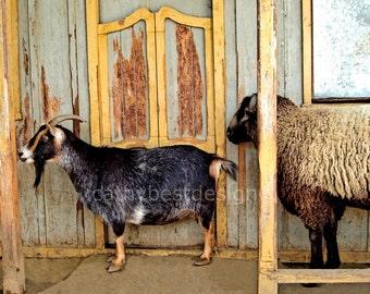 Goat and Sheep Fun Art Fine Art Photograph