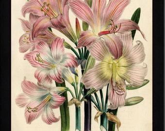 BOTANICAL PRINT Loudon Flower  Botanical Art Print 8 Beautiful Antique Pink White Lily Lilies Flowers Spring Garden