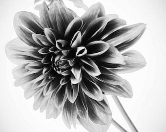 Flower Photography - A Black & White Photograph of a Dahlia, Wall Decor, Fine Art  - 8x10 photograph