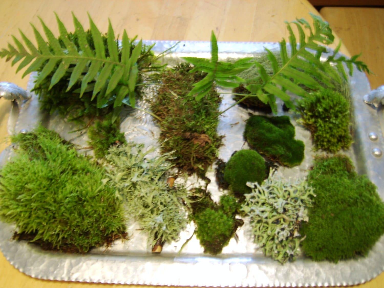 Living moss fairy garden terrarium bonsai supplies by for Terrarium supplies