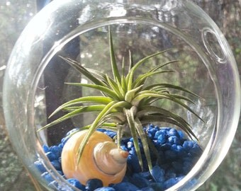 Pair of Air Plants in Double Hook Hanging Glass Terrariums with Sea Shells