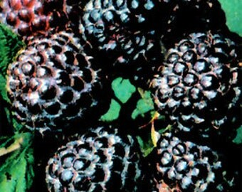 1 Black Hawk Raspberry Plant