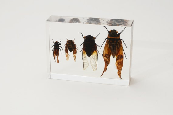 Taxidermy - Set of Four Cicadas in Lucite