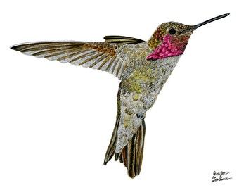Art Print. Hummingbird Ayre. White Background
